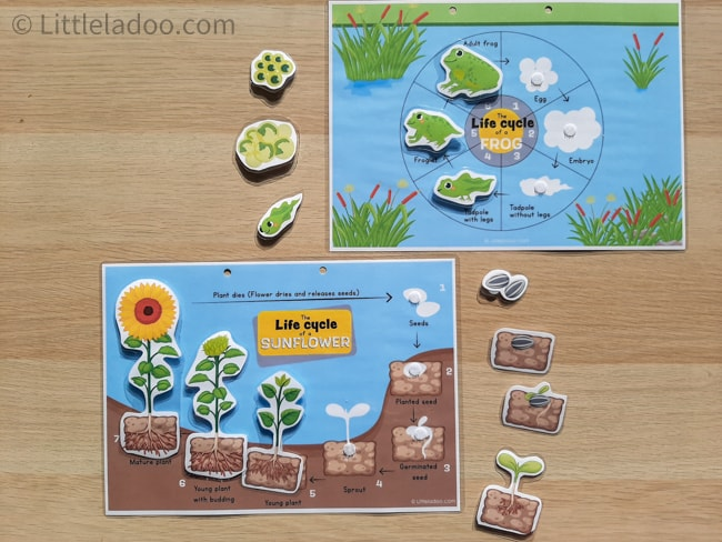 life cycle of sun flower and frog - busy book pages